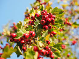 hawthorn-berry-benefits