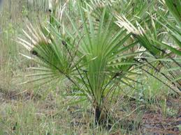 what-is-saw-palmetto-good-for