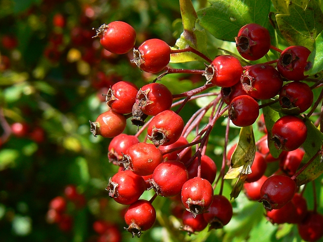 benefits-of-hawthorn-berry