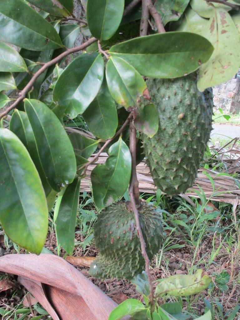 Graviola-Tree-Extract