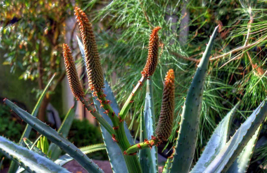 Cape Aloe Ferox