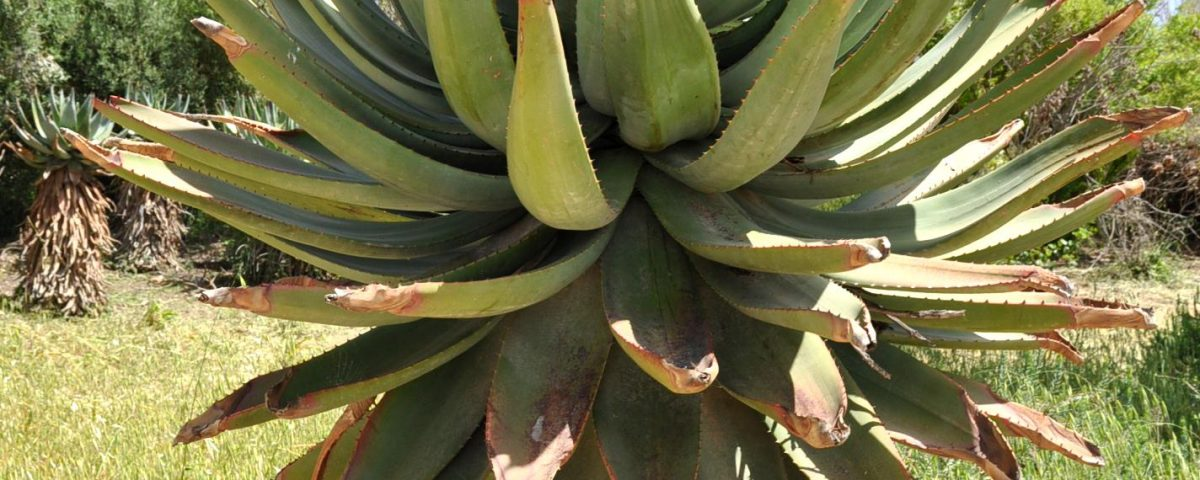 Cape Aloe gel