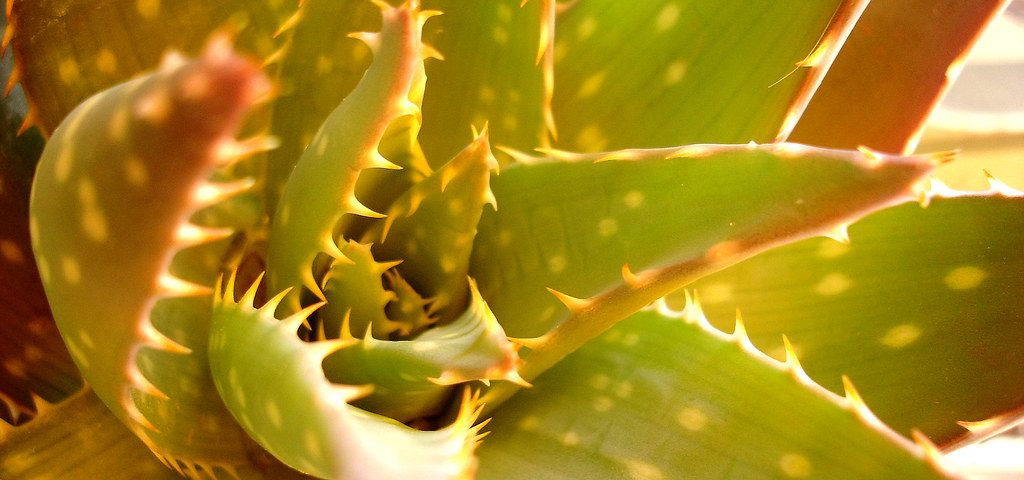 cape aloe leaf benefits