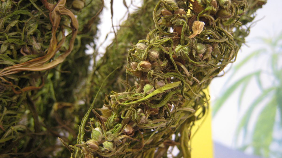 hemp seeds protein